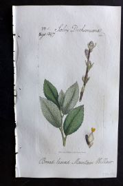 Sowerby C1805 Hand Col Botanical Print. Broad Leaved Mountain Willow 1390